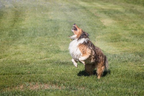 A wet, happy, Shetland Sheep dog jumping up and getting wet by playing with sprinkler water on green grass. A joyful image.