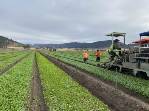 Harvesting machinery and workers in loose leaf lettuce fields in Richmond, Tasmania.
