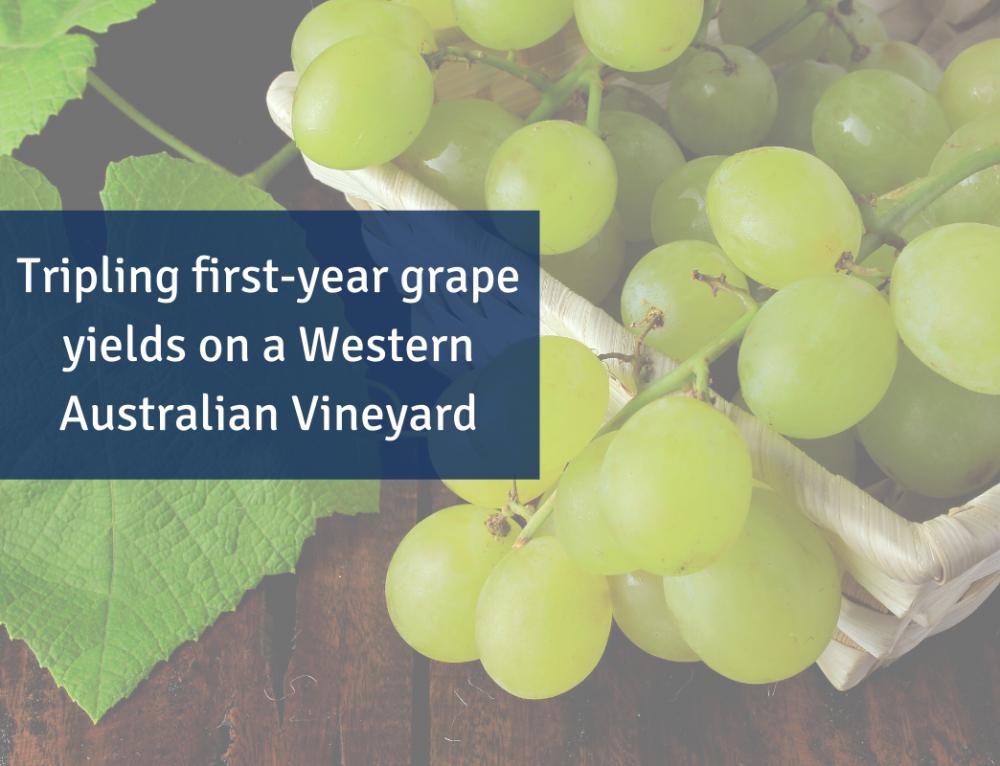Tripling first-year grape yields on a Western Australian Vineyard
